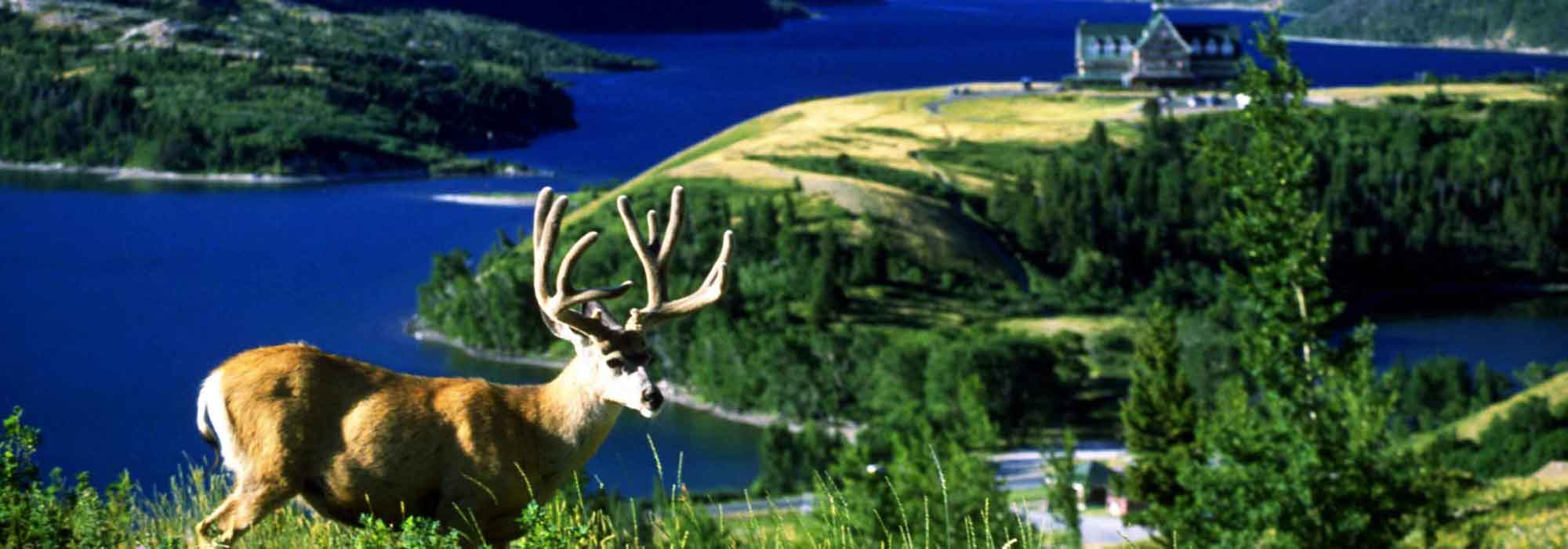 Deer-Wildlife-waterton-glacier-suirtes-watertonpark